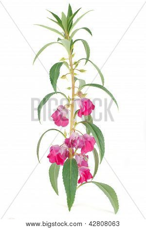 Blooming of Impatiens balsamina isolated