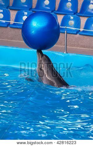 Dolphin In A Dolphinarium Pool With The Big Blue Ball