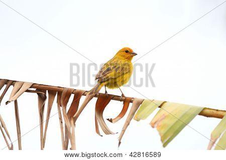 Small Yellow canary Serinus canaria bird