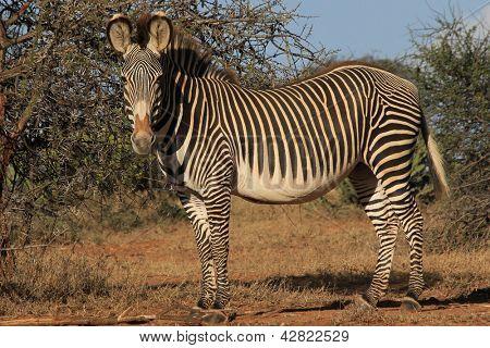 Grevy Zebra, Kenia