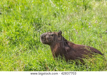 Capybara In The Field