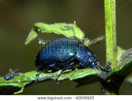 Menthol bug