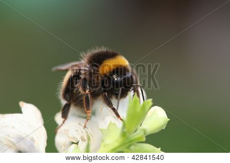Bumble-bee Sitting On Green Leaf