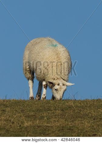 Sheep Grazing Against A Blue Sky