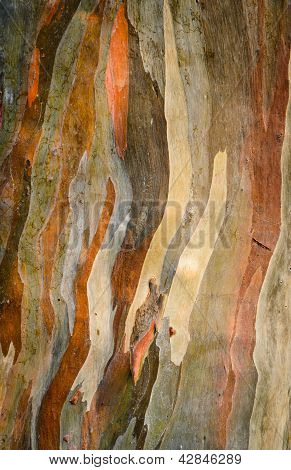 Colorful Abstract Pattern Of Eucalyptus Deglupta Tree Bark