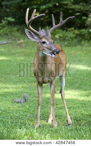 Evening Buck