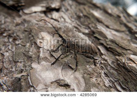 Capricorn Beetle On The Bark