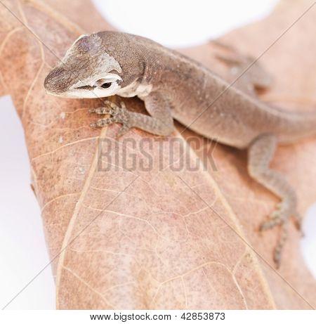 Molting Reptile on leaf, macro