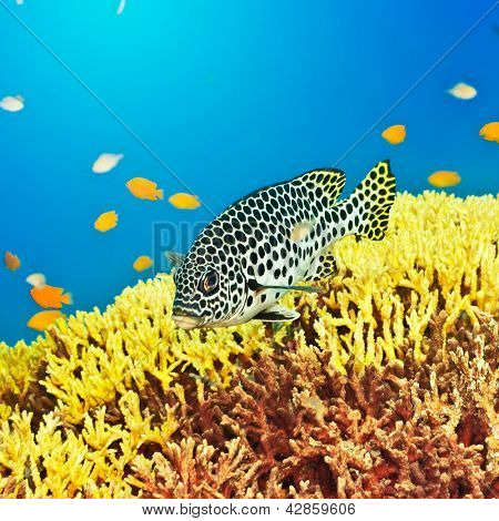 Underwater landscape with tropical fish Sweetlips