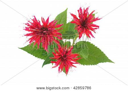 Three flower Monarda