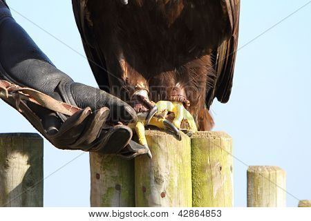 Golden Eagle With Falconer Showing Talons