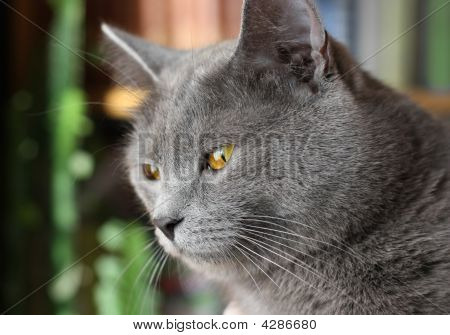 British Blue Short-haired Cat