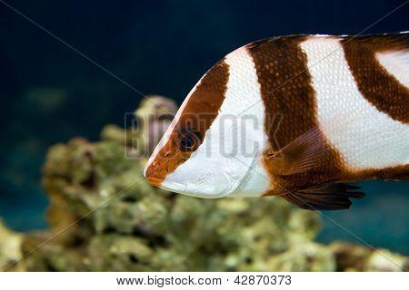 White-tailed Damselfish (dascyllus Aruanus)