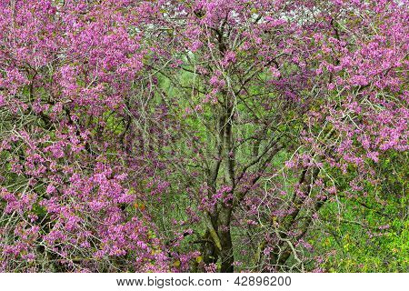 Judas Tree With Beautiful Pink Flowers