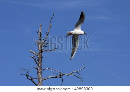 Pewit, pee-wit, gull flying over a tree.
