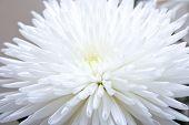 image of white flower  - The white flower on grey background - JPG