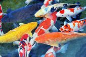 stock photo of koi  - Several carp in a pond - JPG