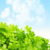 Picture of green clover field, st.Patrick's day background, shamrock plant over blue sky, beautiful