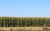 Cornfield Ready For Harvest