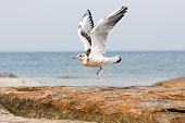 Sea Gull Or Mew