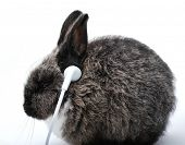 Young rabbit listening to music on headphones