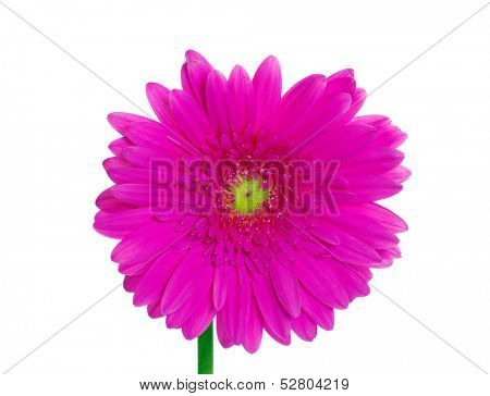 gerbera isolated on white background