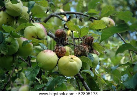 Branch Of Apples, Some Are Rotten
