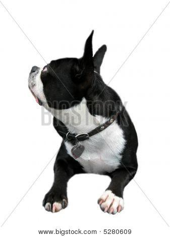 Curious Boston Terrier