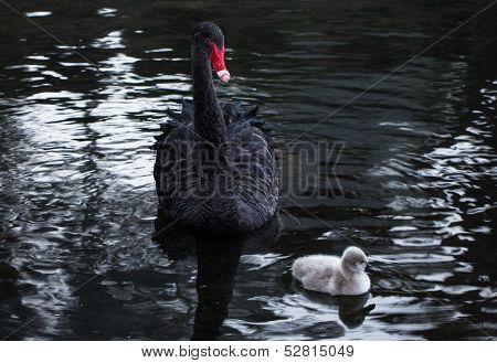 Black Mother Swan