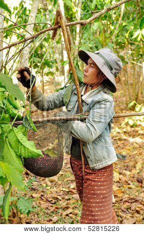 Harvesting coffee berries.