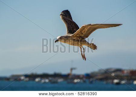 Flying bird in Tenerife