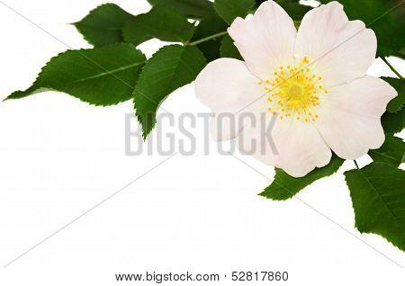 Wild Rose In A Corner