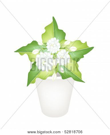 Illustration Of Jasmine Flowers In A Flower Pot