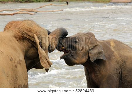 Lankesian Elephants Trunk Wrestling