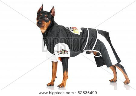 pincher dog wearing clothes