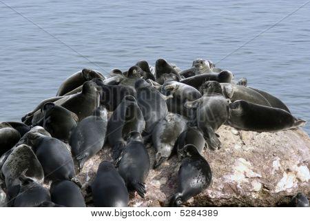 Baikal Mammal-seal