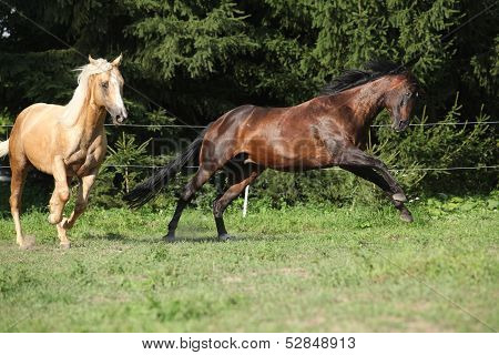 Two Quarter Horse Stallions Fighting With Each Other