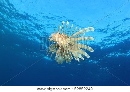 Lionfish hunting in blue water