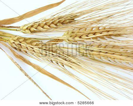 Barley_3