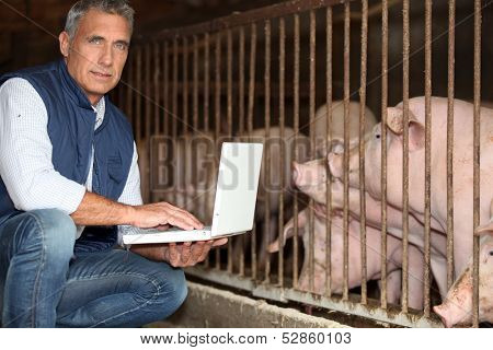 man breeding pigs