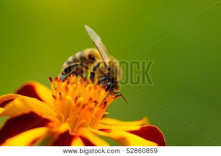 Bee Pollinating Marigold (Tagetes) Flower