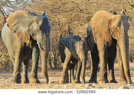 Elephant, African - Wildlife Background from Africa - Family of Format ... and Wrinkles