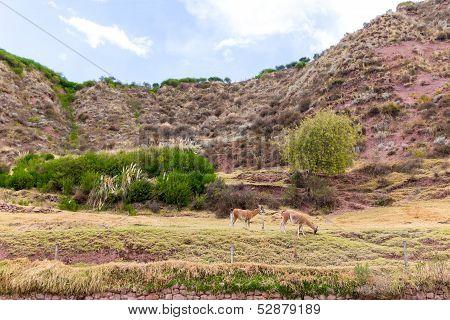 Farm of llama,alpaca, Vicuna in Peru, South America.