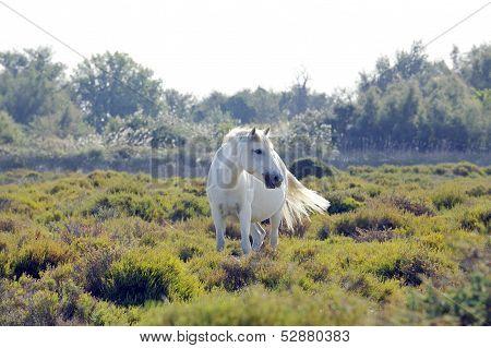 A Wild White Camargue Horse