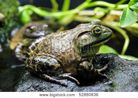 Bullfrog on a Rock