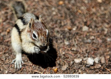 Chipmunk Background with Copy Space