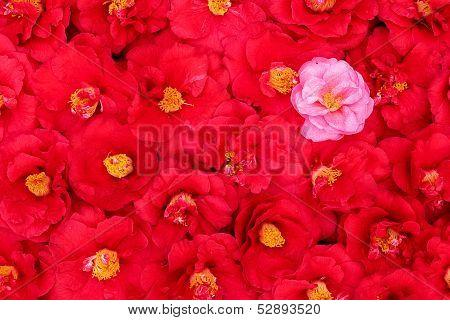 Camellia Texture