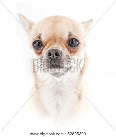 Chihuahua dog portrait  in high key