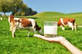 Glass of milk against herd of cows. Emmental region, Switzerland