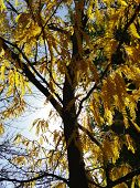 stock photo of locust  - A yellow Locust tree is displayed against an autumn sky in Boise, Idaho.